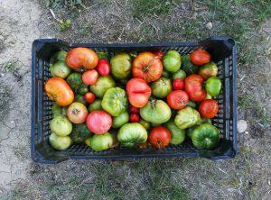 tomatoes-2922164_1920